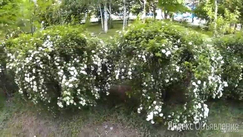 Спирея ниппоника по цене 200₽ - Рассада, саженцы, кустарники, деревья, фото 0