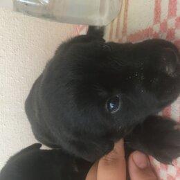 Собаки - Щенки лабрадора  возраст 1 месяц  1 мальчик и 2 девочки , 0