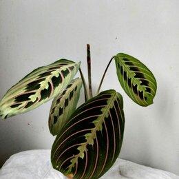 Комнатные растения - Маранта Фасцинатор Триколор, 0