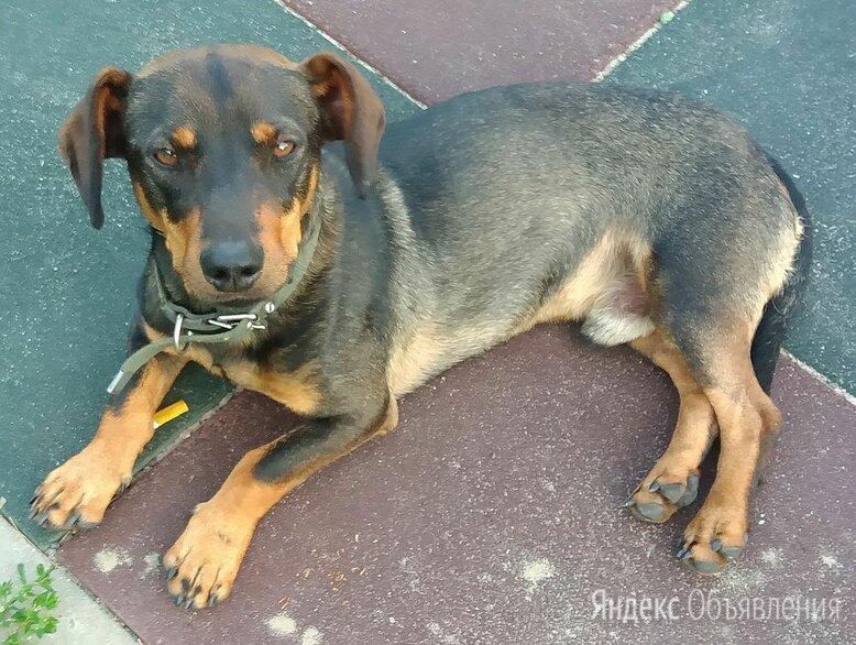 Найден пес по цене даром - Животные, фото 0