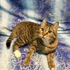 Молодой котик бесплатно по цене даром - Кошки, фото 5