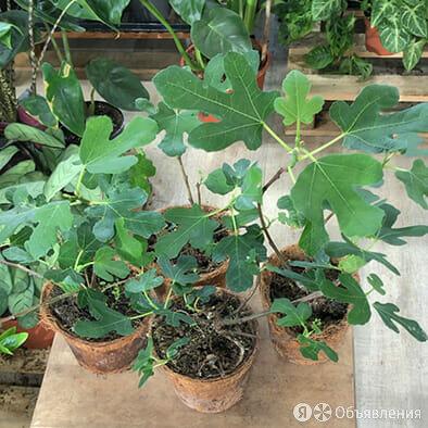 Фикус Карика или саженцы инжира по цене 980₽ - Комнатные растения, фото 0