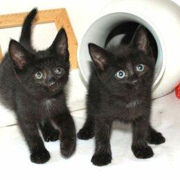 Кошки - Три черненьких, веселеньких котенка - Норман, Мартин и Перчик в добрые руки., 0