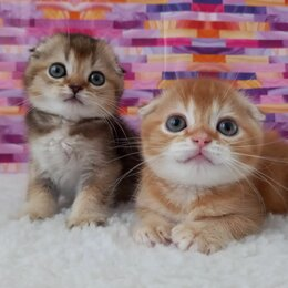 Кошки - Шотландские, 0