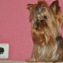 Собаки - Щенки йоркширского терьерчика , 0