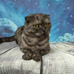 Кошки - Шотландская вислоухая девочка в дар, 0