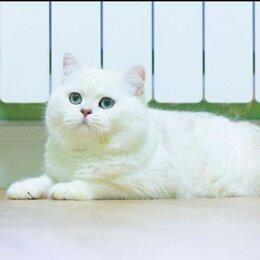 Кошки - Шиншилла поинтовая британская шиншилла, 0