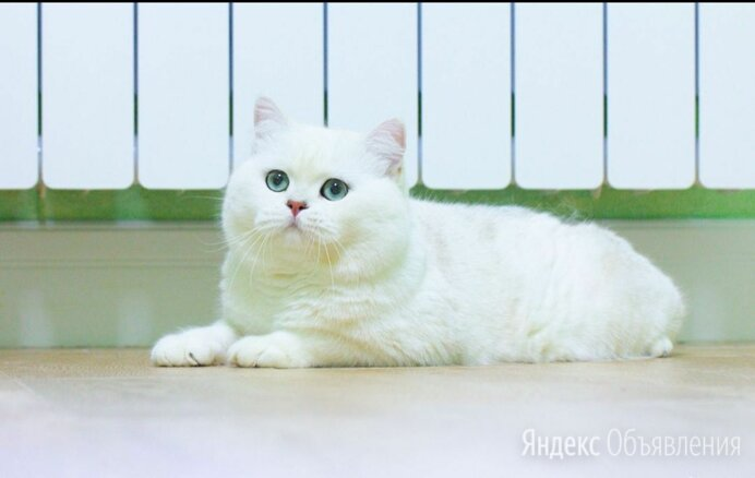 Шиншилла поинтовая британская шиншилла по цене 120000₽ - Кошки, фото 0