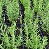 Саженцы лаванды. Зимостойкий сорт. по цене 250₽ - Рассада, саженцы, кустарники, деревья, фото 4