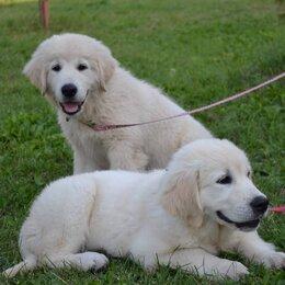 Собаки - Золотистый ретривер щенок 3 месяца, 0