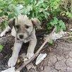 Отдам щенков в добрые руки по цене даром - Собаки, фото 7