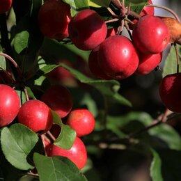 Рассада, саженцы, кустарники, деревья - Яблоня декоративная malus «liset»., 0