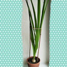 Комнатные растения - Индийский лук, 0