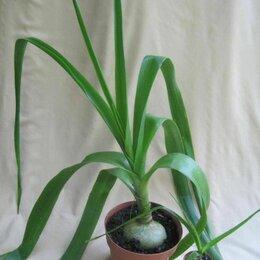 Комнатные растения - Индийский лук (птицемлечник хвостатый), 0