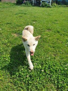 Собаки - Продается щенок сиба ину , 0