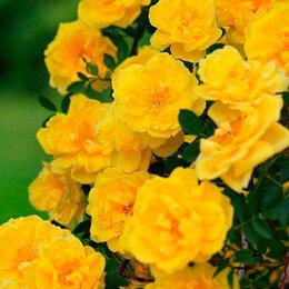 """Рассада, саженцы, кустарники, деревья - АФ """"Поиск"""" Роза плетистая Голден Парфюм (Golden Parfume), 0"""