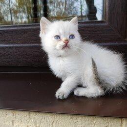 Кошки - Котята Британская золотая шиншилла, вискас, белый, Шотландская рыжий, серый, 0