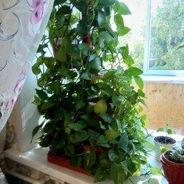 Комнатные растения - Лиана цветок сциндапсус, 0