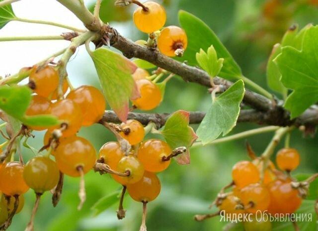 Саженцы Смородина золотистая  по цене 450₽ - Рассада, саженцы, кустарники, деревья, фото 0