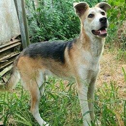 Собаки - Метис Акиты и Лайки, 0