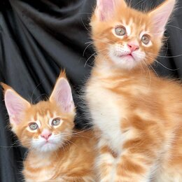 Кошки - Рыжие котята мейн куна 2 месяца., 0