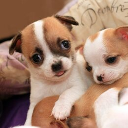 Собаки - Замечательный мальчишечка чихуахуа, 0