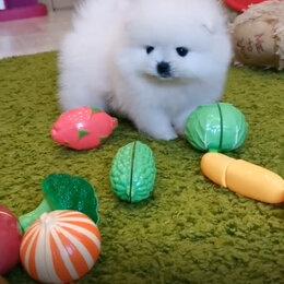 Собаки - Померанский Шпиц мини, 0