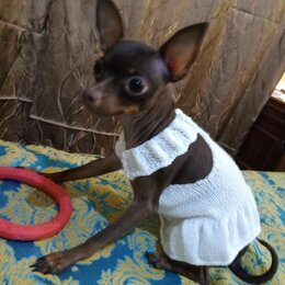Одежда и обувь - Летнее платье для собачки, 0