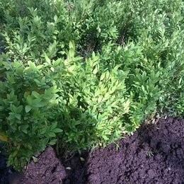 Рассада, саженцы, кустарники, деревья - Самшит (Buxus), вечнозеленый кустарник, 0