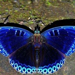 Аквариумные рыбки - Живые тропические бабочки Лунное Затмение, 0