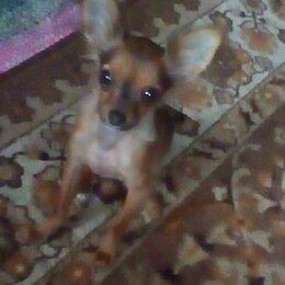 Собаки - Той терьер рыжий гладкошерстный, 0
