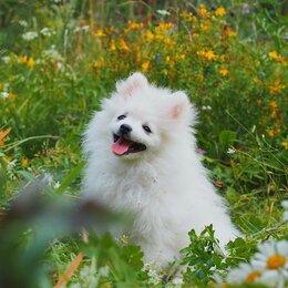 Собаки - Померанский шпиц девочка, 0