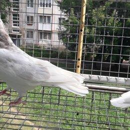 Птицы - Ижевские гривуны голуби высоколётные, 0
