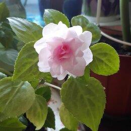 Комнатные растения - Бальзамин apple blossom, 0
