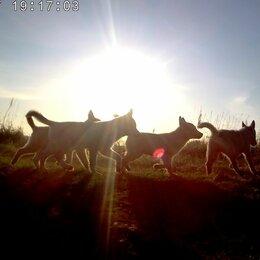 Собаки - Щенки ХАСКИ, 0
