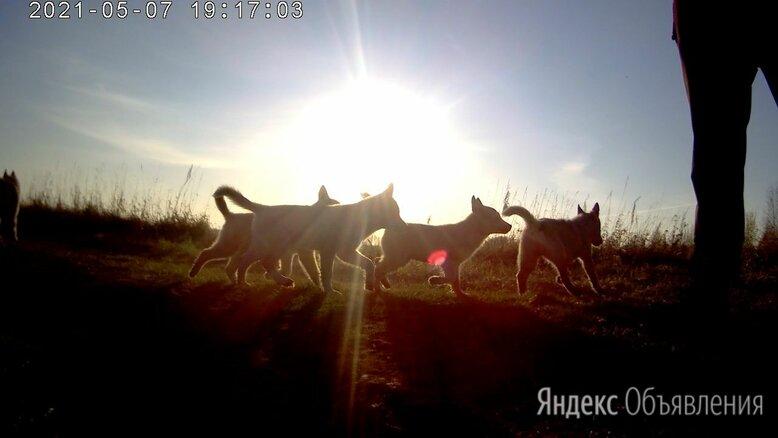 Щенки ХАСКИ по цене 5000₽ - Собаки, фото 0