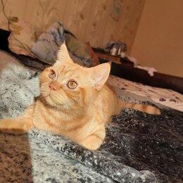 Кошки - Котята британской породы , 0
