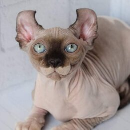 Кошки - Канадский сфинкс эльф, 0