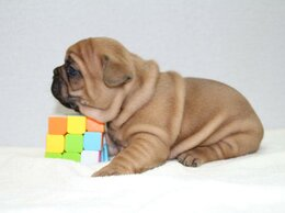 Собаки - Французские булочки РКФ , 0