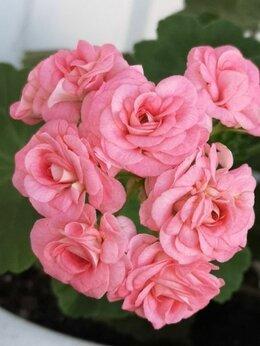 Комнатные растения - Пеларгония Grainger antique rose, 0