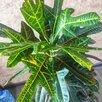Кротон кодиеум экселент по цене 9000₽ - Комнатные растения, фото 1