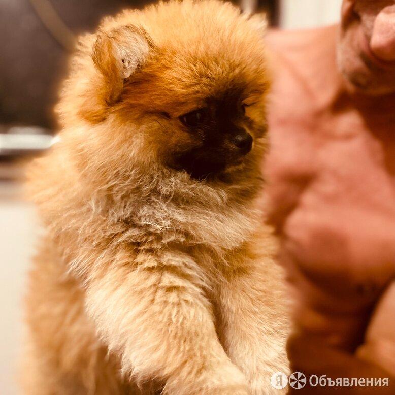 Щенки шпица  по цене 40000₽ - Собаки, фото 0