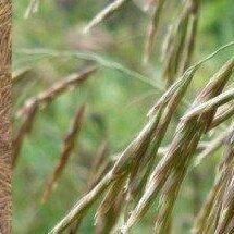 Семена - Семена Кострец безостый Сорта: вегур, 0