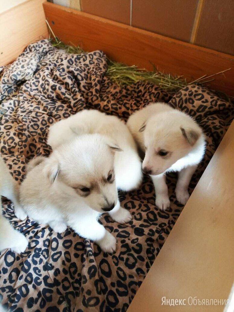Хасочки по цене 3000₽ - Собаки, фото 0