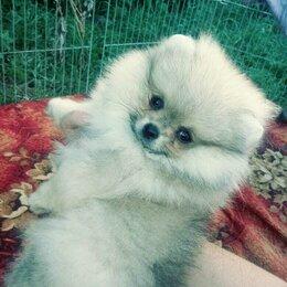 Собаки - Померанский шпиц крем девочка , 0