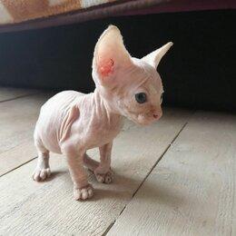 Кошки - Котята породы Канадский сфинкс , 0