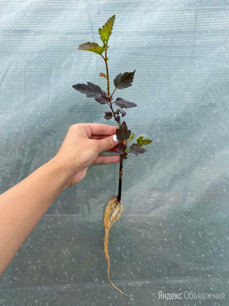 Черенки декоративных растений на ОСЕНЬ 2021 по цене 25₽ - Рассада, саженцы, кустарники, деревья, фото 0