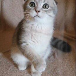 Кошки - Скоттиш-фолд шотландская вислоухая, мальчик, 0