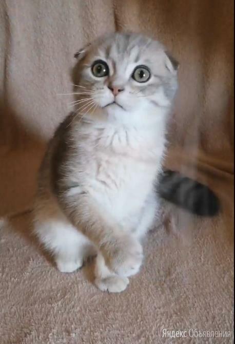 Скоттиш-фолд шотландская вислоухая, мальчик по цене 35000₽ - Кошки, фото 0