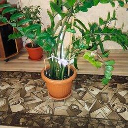 Комнатные растения - Цветок замиокулькас, 0